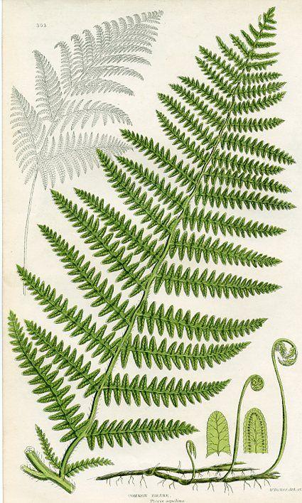 Common Brake, Ferns of Great Britain, Anne Pratt, (England, c. 1860s) botanical print