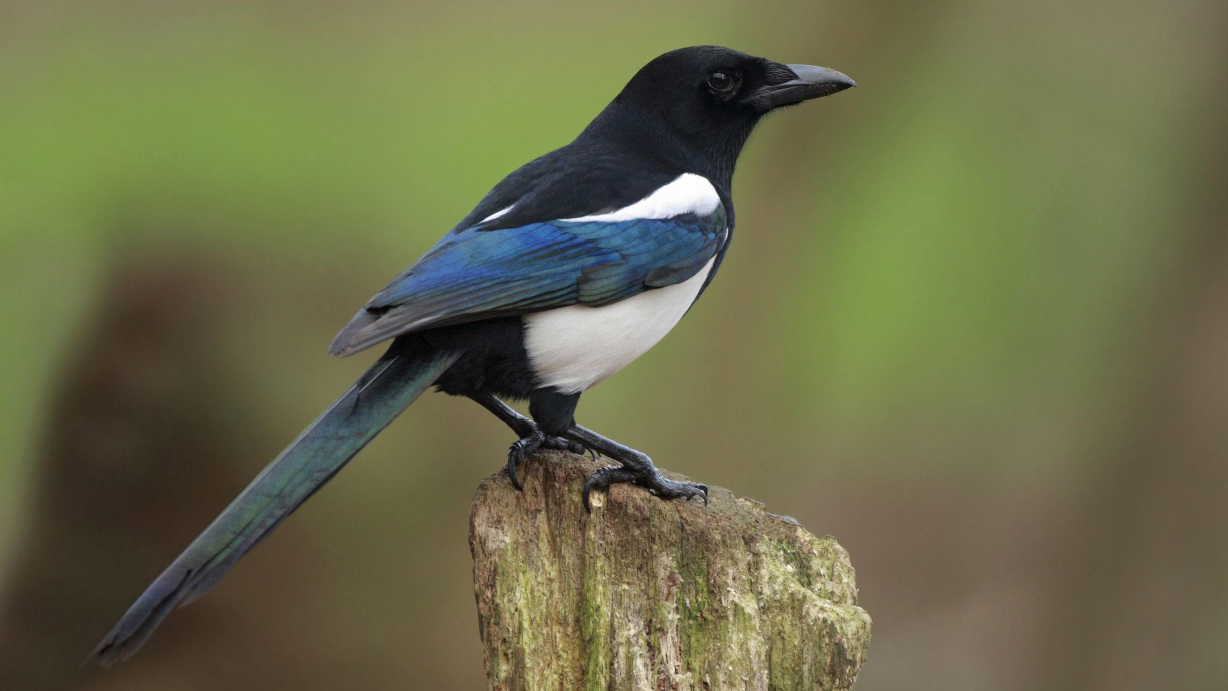 The magpie is a symbol for luck and prosperity in korean culture the magpie is a symbol for luck and prosperity in korean culture seeing a particular biocorpaavc
