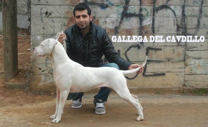 Gallega Del Cavdillo Dogs Animals Goats