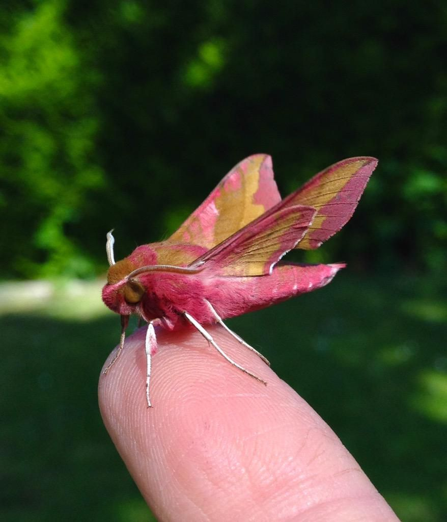 What's not to love about moths? Small Elephant Hawk even has cute scientific name - translates as Dusk-loving Piglet