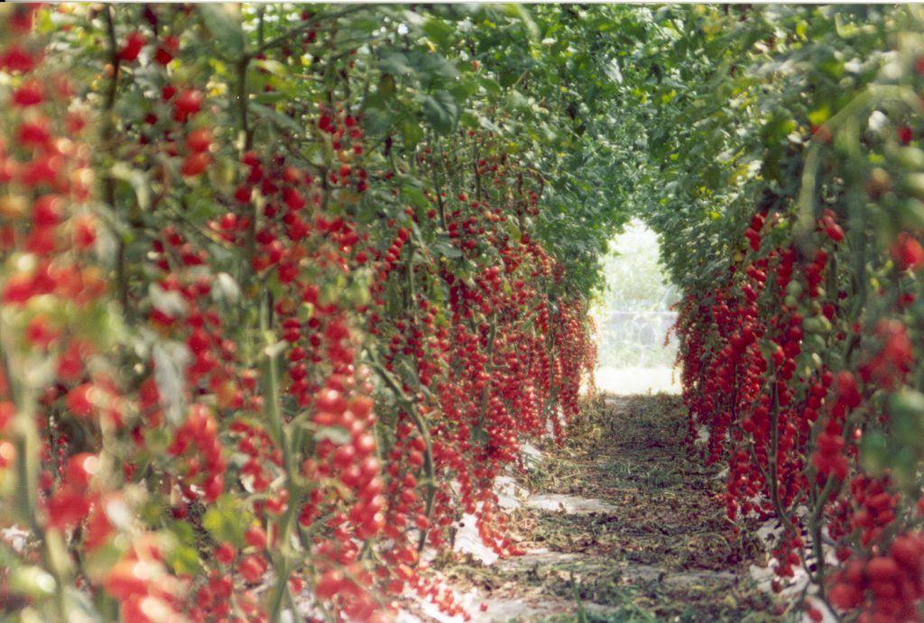 Come coltivare il pomodoro in serra cosa devi sapere