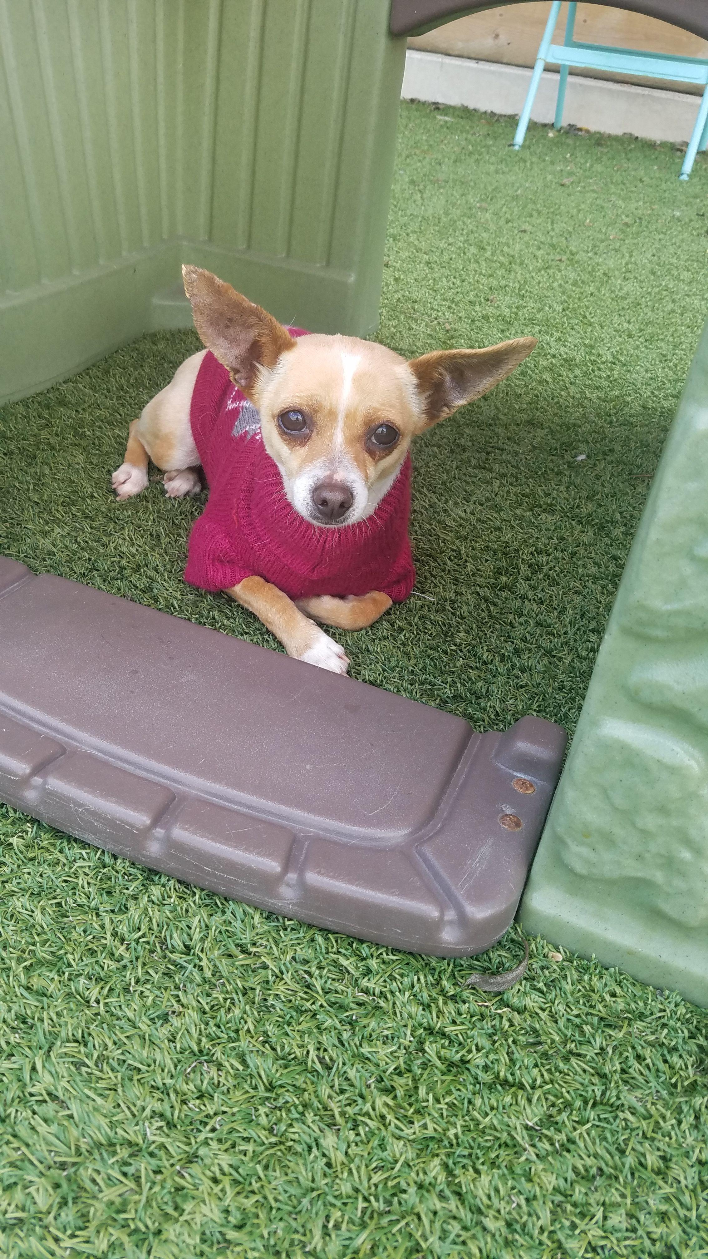 Chihuahua dog for Adoption in San Francisco, CA. ADN
