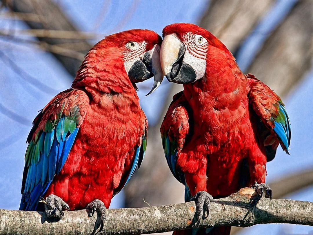 Android Iphone Desktop Wallpapers 1080p 4k 5k 54323 Wallpapers Hdwallpapers Androidwallpapers Nature Birds Parro Parrot Animal Wallpaper Macaw Hd wallpaper red and blue parrots