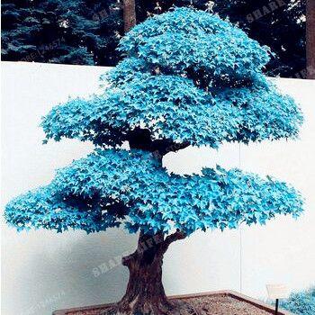 Acheter rare bleu rable graines bonsa for Ou acheter des plantes