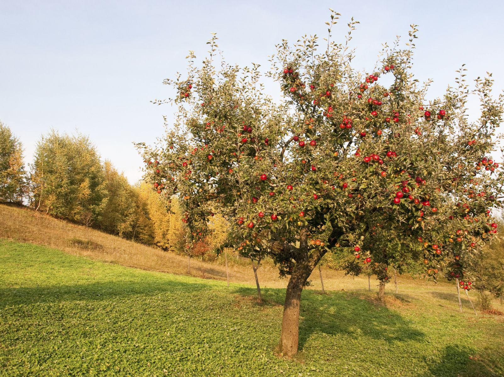 Tips to help make growing apples an enjoyable experience.