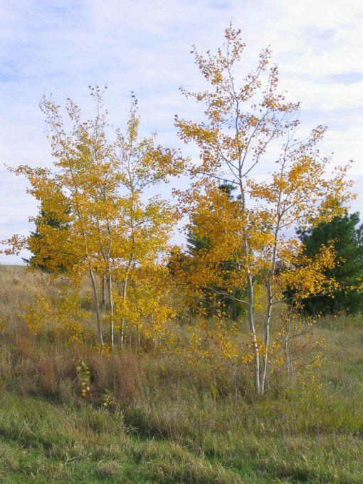 Prairie Gold Aspen Populus Tremuloides Ne Arb Patio