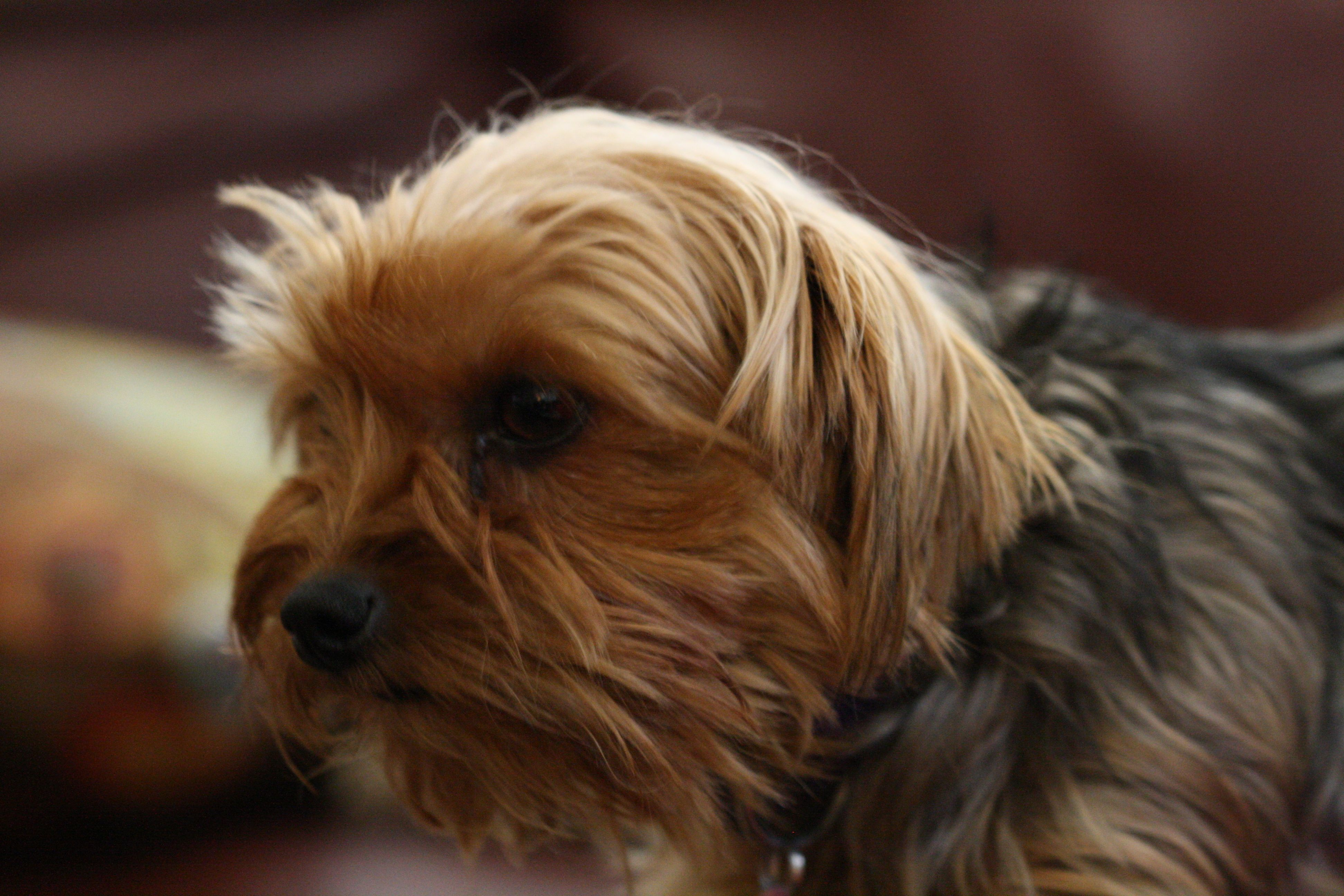 My Yorkie baby girl, Coco. | Cool Things | Pinterest