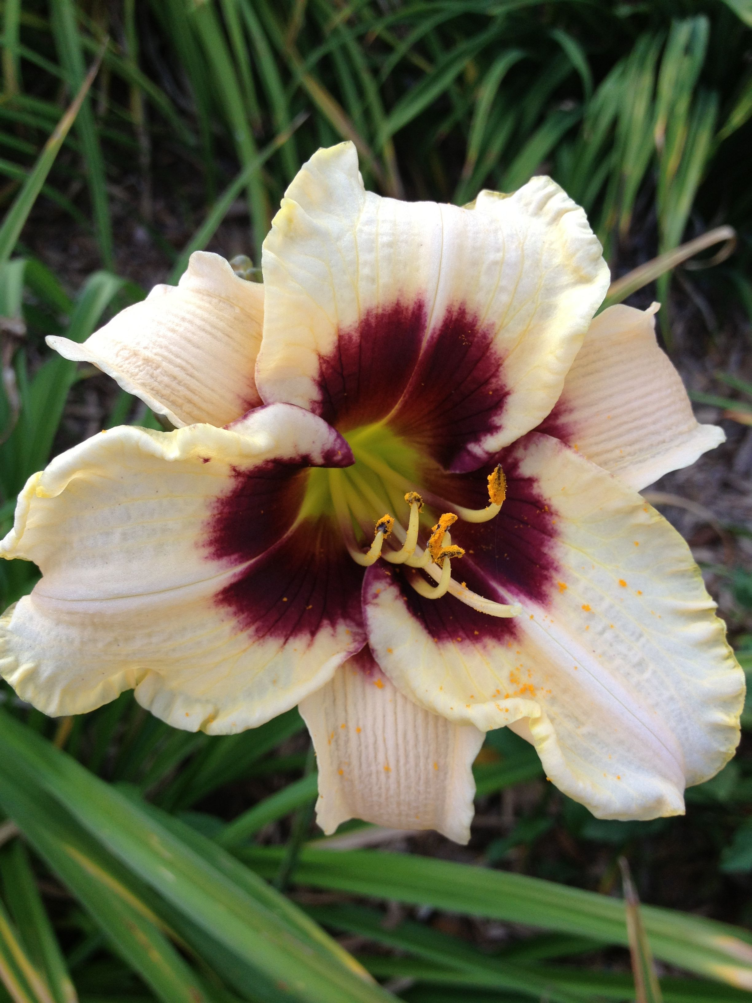 Moonlight masquerade daylily daylilies i have pinterest moonlight masquerade daylily izmirmasajfo