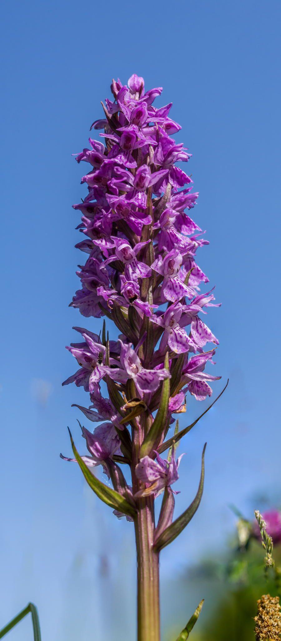 Leopard Marsh Orchid by Sake van Pelt on 500px