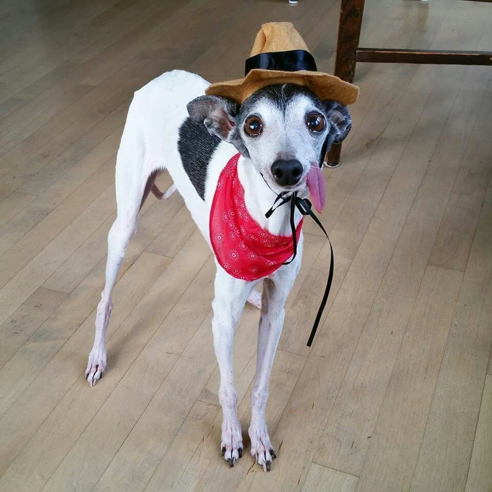 the_real_zappa | Italian greyhound, Dog wearing clothes ...