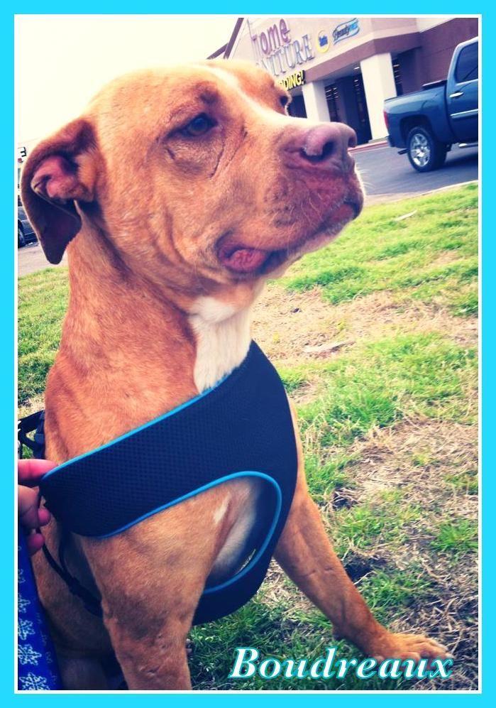 Boudreaux pitbull dog