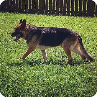 German Shepherd Dog Dog For Adoption In Glastonbury Connecticut