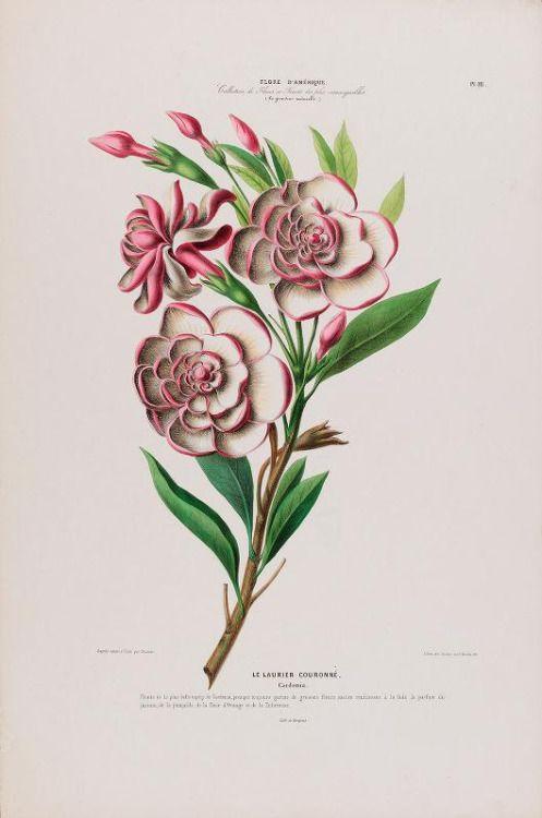 "Gardenia.  Placa de 'Flore d'Amerique ""por Etienne Denisse.  Publicado 1843-1846 pelo Jardim Botânico Gihaut.New York, LuEsther T. Mertz Biblioteca Biodiversity Heritage Library.  archive.org"