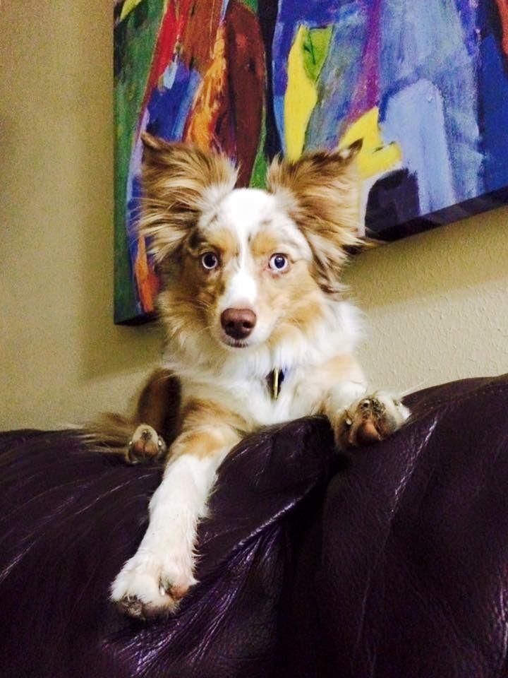 Adopt NEWT Mini/Toy Aussie on Toy aussie, Cute dogs
