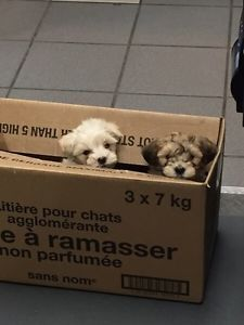 Maltese Puppies City Of Toronto Toronto Gta Image 3 Maltese