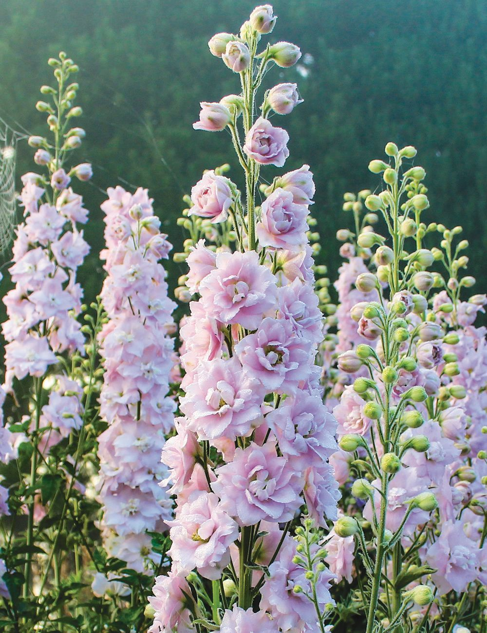 Photo of Dowdeswell Delphiniums Pink Blush  Tesselaar