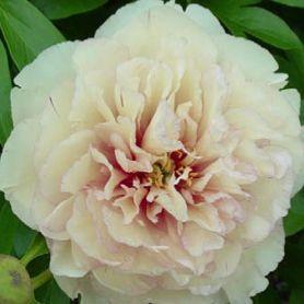 Paeonia Scrumdidleyumptious , Graefswinning