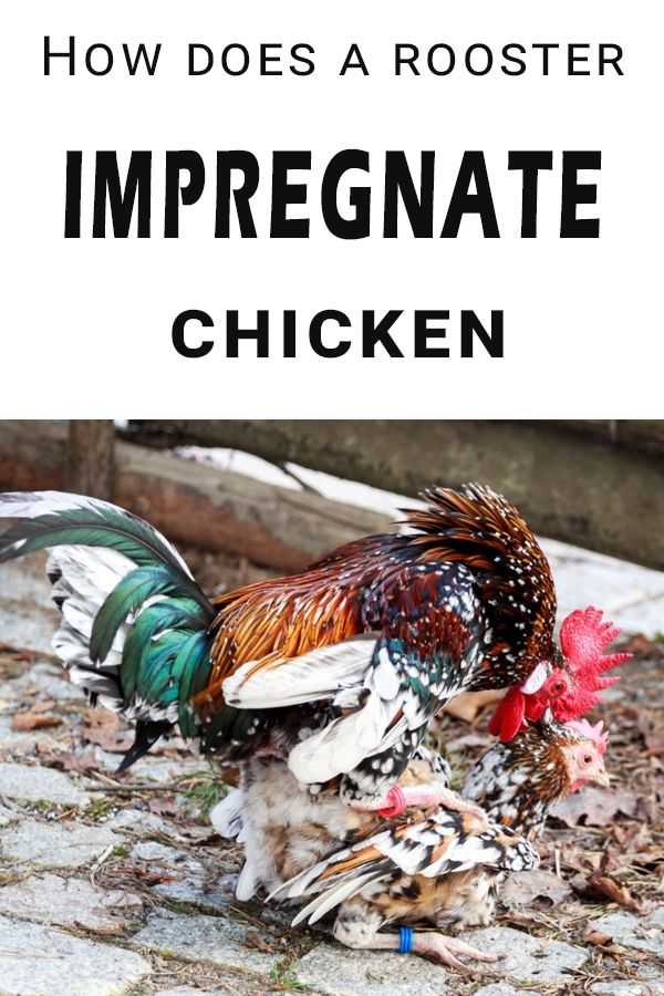 How does a rooster impregnate a chicken? in 2020