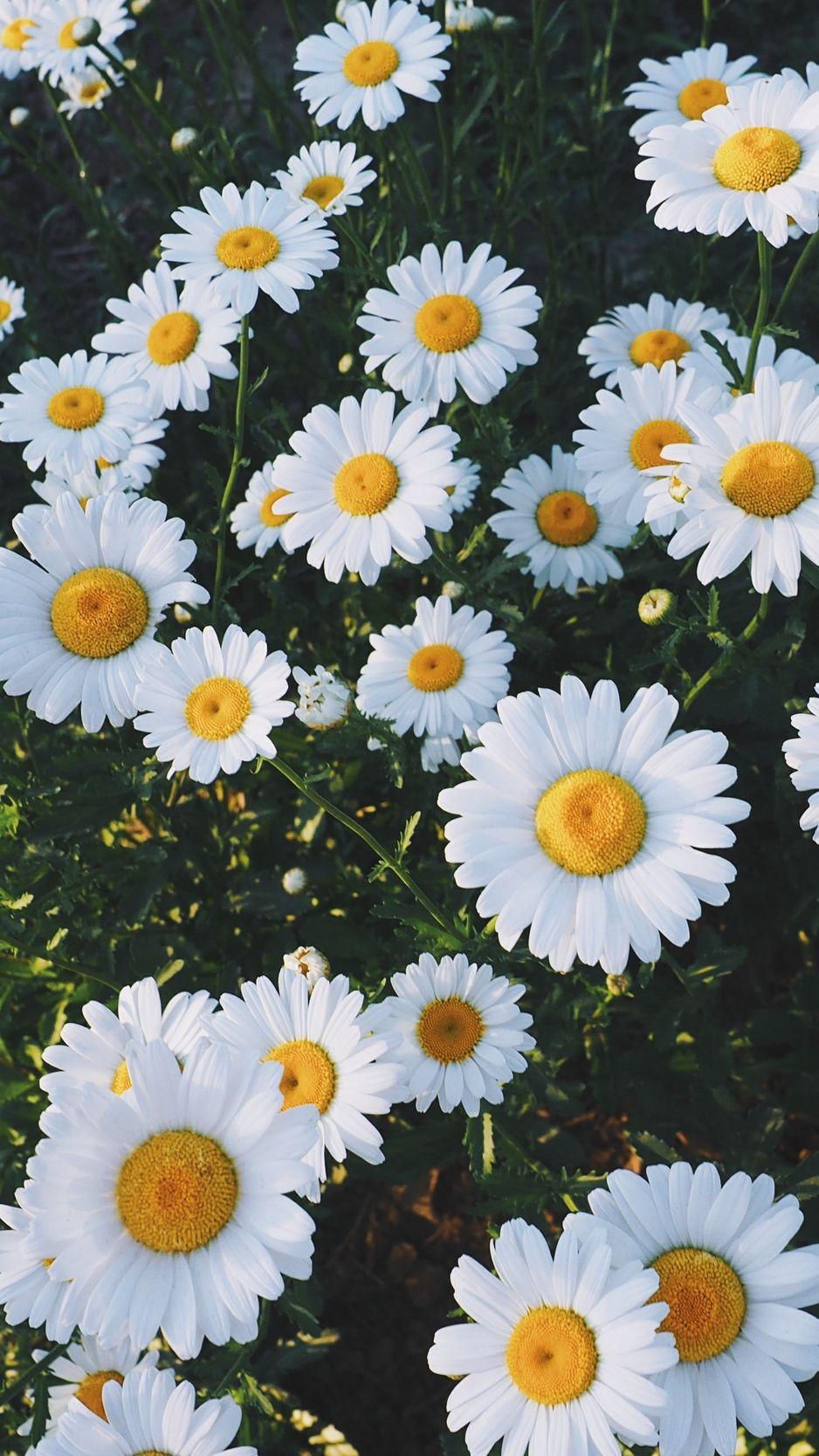 938x1668 Обои ромашки, поляна, цветы, трава Ромашки