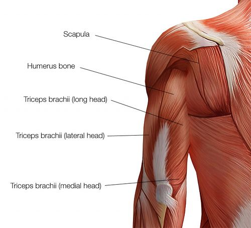 Triceps Brachii Google Search Anatomy And Physiology 1 Pta