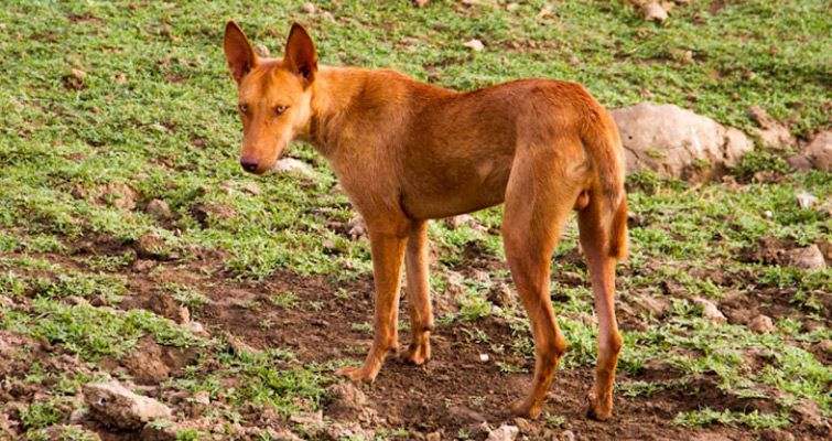 Indian Dog Breed List Find Name Appearance With Pictures Hunderassen Hunde Rassen Hunde
