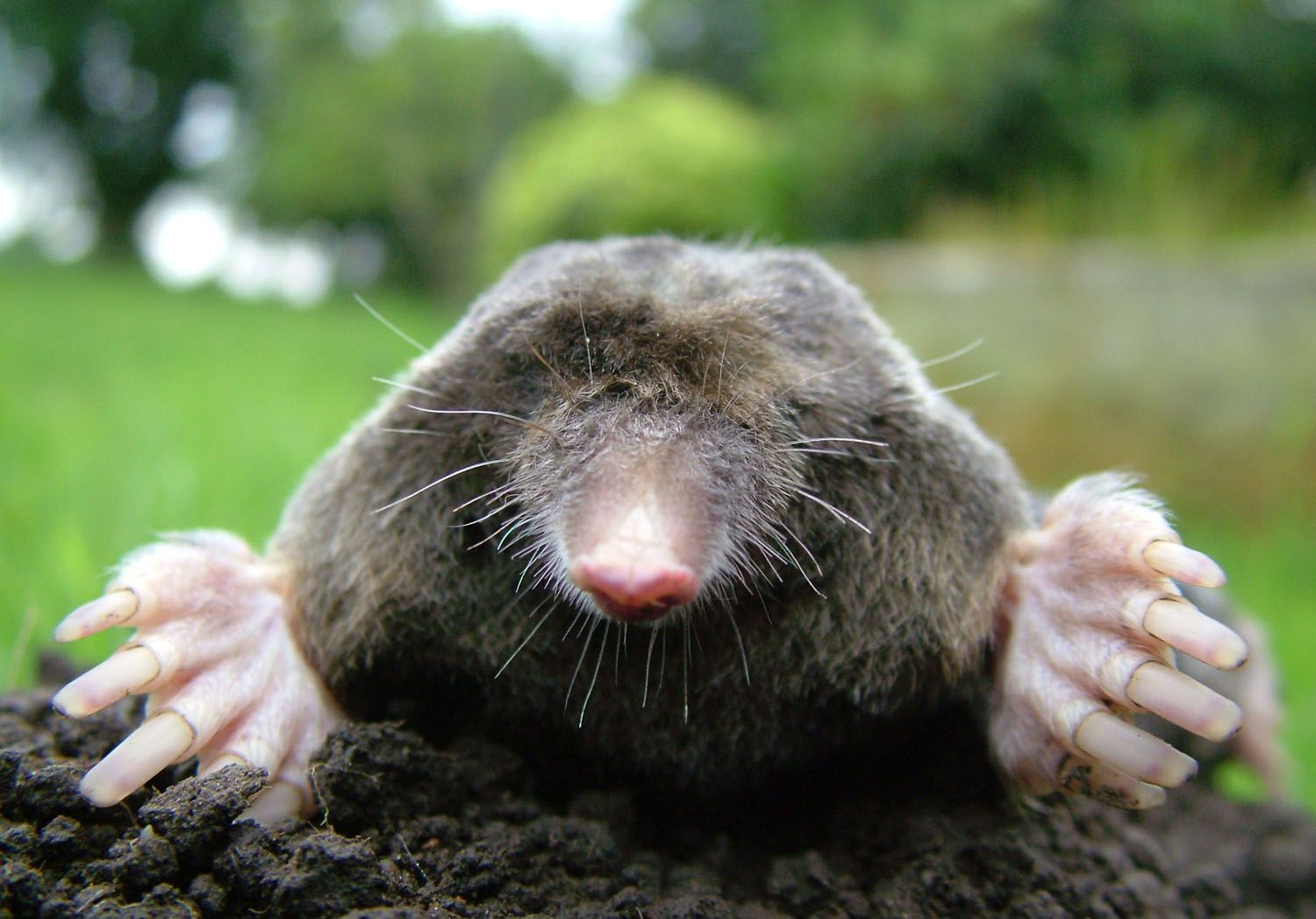 Taupe Dans Le Jardin there are three species of moles in north carolina: the