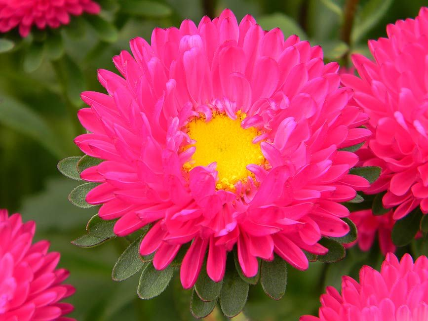 Pictures Of Aster Flowers Pyramid Flowers Our Flowers Premium Flowers Aster Matsumoto Birth Flowers Family Flowers Aster Flower