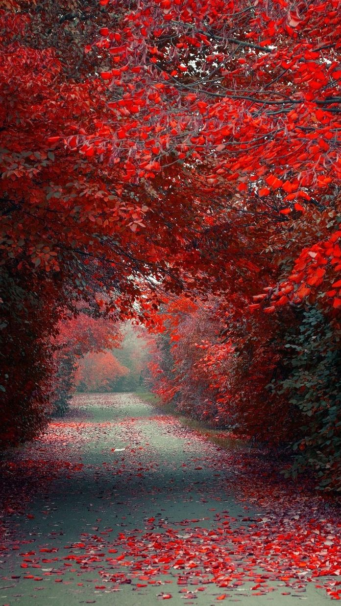 Autumn Red Leaves Road Wallpaper Iphone Wallpaper Nature Wallpaper Nature Backgrounds Autumn Scenery