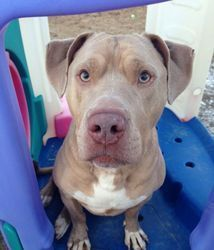 Check out Sully's profile on AllPaws.com and help him get adopted! Sully is an adorable Dog that needs a new home. https://www.allpaws.com/adopt-a-dog/american-staffordshire-terrier-mix-weimaraner/498045?social_ref=pinterest Please visit us at www.lilospromise.com    856-207-7818