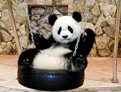 Giant Panda in tire swing-china.org.cn