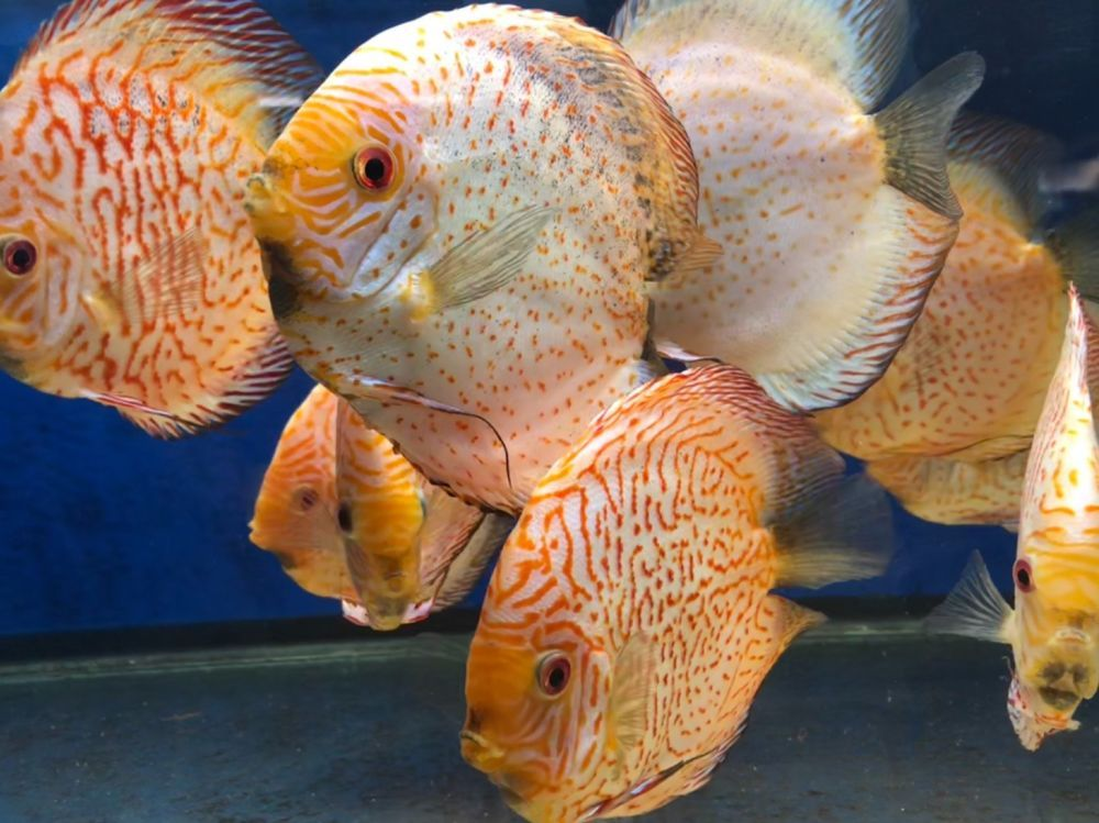 6.5 inch-7 inch White Silver Pogeon Show quality Discus ...