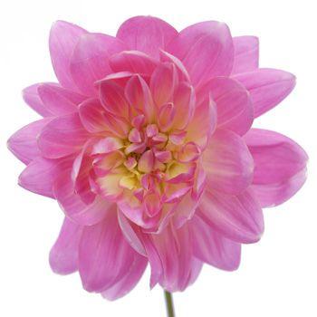 Dahlia Flower Light Soft Pink Fiftyflowers Com Dahlia Flower Wedding Flower Arrangements Colorful Wedding Flowers