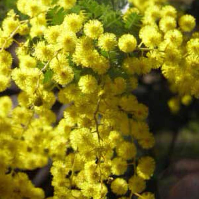 Wattle I Miss That Glorious Smell Australian Native Plants Australian Plants Australian Wildflowers