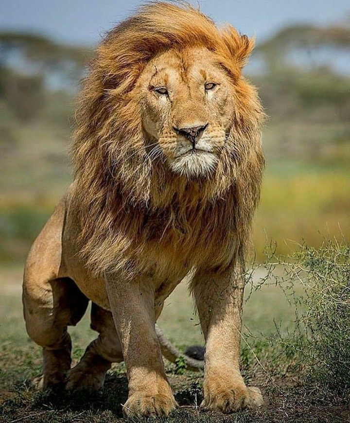 To me, the most beautiful of all big cats, the male Lion