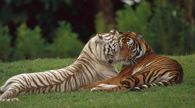 Tiger Love Animals Pinterest In Love Animals And True Love - 32 adorable animals