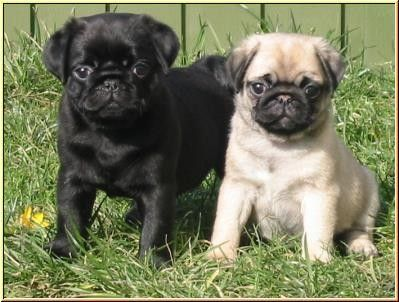 3 Month Old Pug Puppies For Sale Nottingham Nottinghamshire
