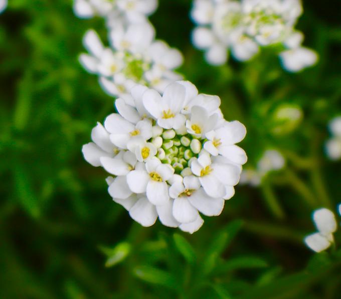 Corbeille D Argent Ou Iberis Fleurs Flowers Et Arbres A Fleurs
