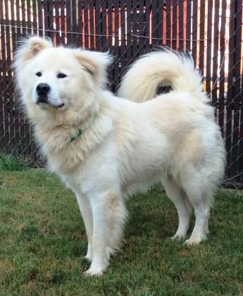 Meet 32178025 A 5 Years Great Pyrenees Chow Chow Available For