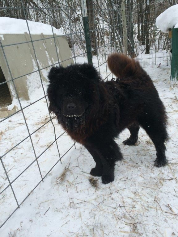 Adopt Grover Adopted On Petfinder Chow Chow Dogs Chow Chow Dogs