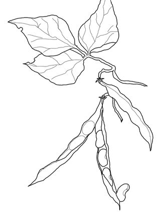 Kidney Beans Coloring Page Faa ف Fassolya Green Beans
