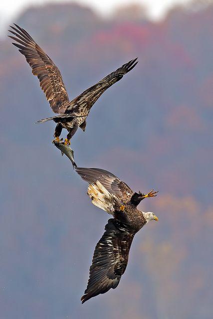 American Bald Eagle's by Brian E Kushner,