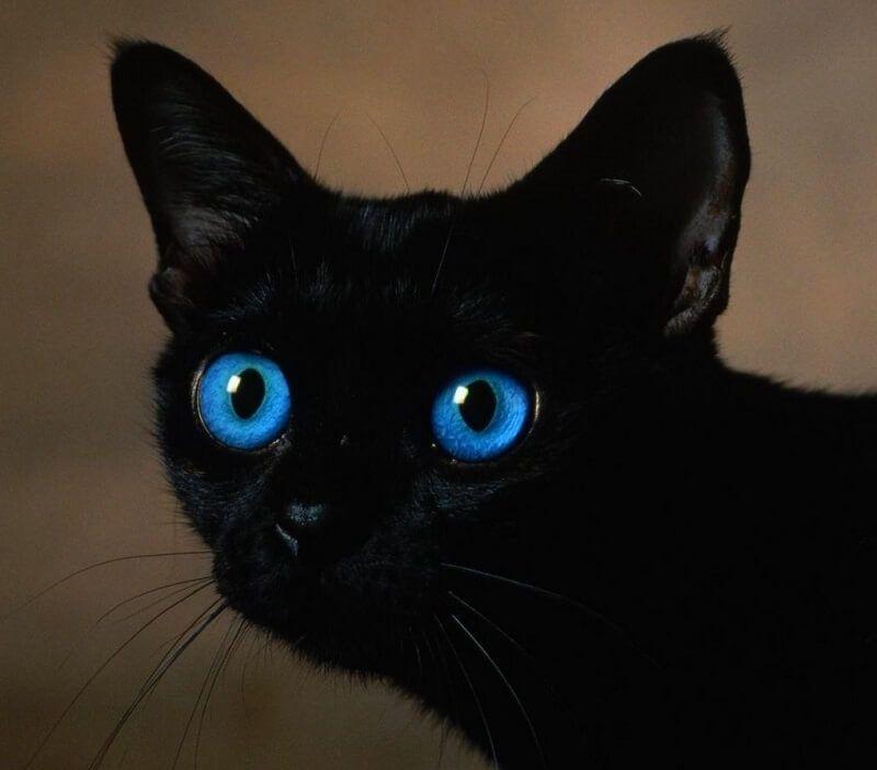 200 Blue Eyed Cat Names Pick The Best Blue Inspired Kitten Name In 2020 Cat With Blue Eyes Fluffy Black Cat Black Cat Anime