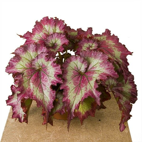 Begonia Raspberry Torte Begonia Rex Hybrid Plants Flower Seeds Shade Plants