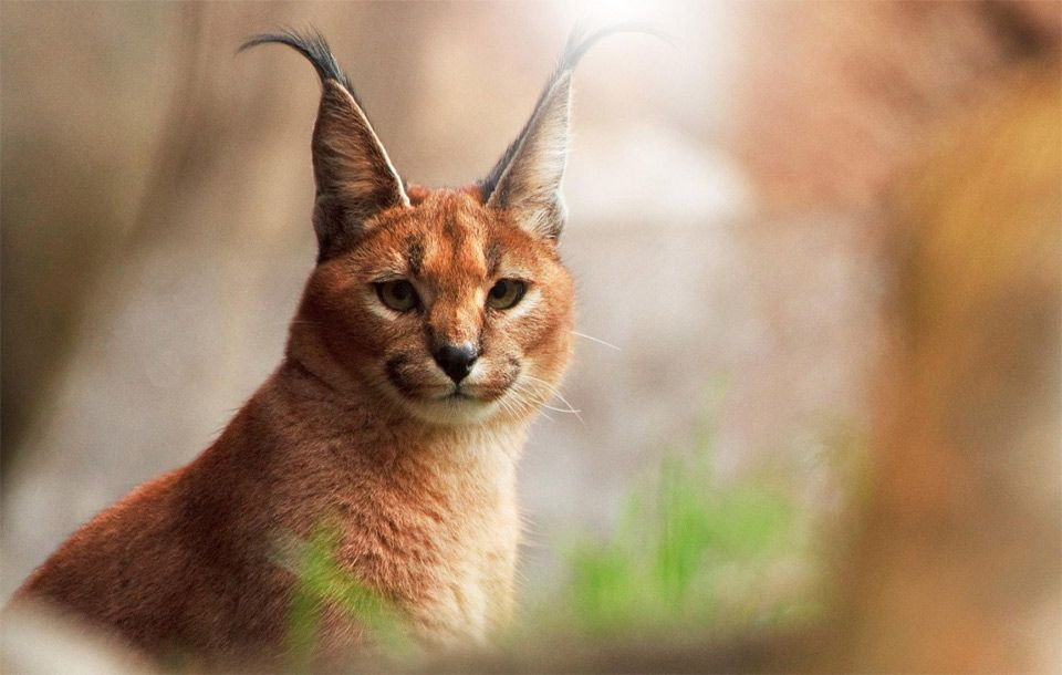 the look of caracal