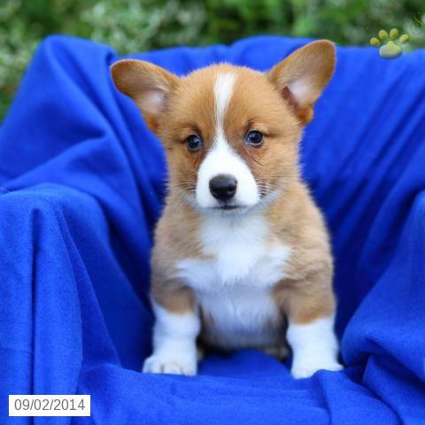 Travis Welsh Corgi Pembroke Puppy For Sale In Kirkwood Pa Welsh Corgi Puppies Corgi Pembroke Welsh Corgi Puppies
