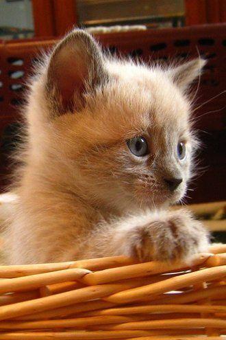 cute fluffy siamese kittens - photo #9