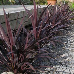 Cordylines Small Tropical Gardens Tropical Garden Plants
