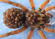 Female wolf spider carrying babies on her back.