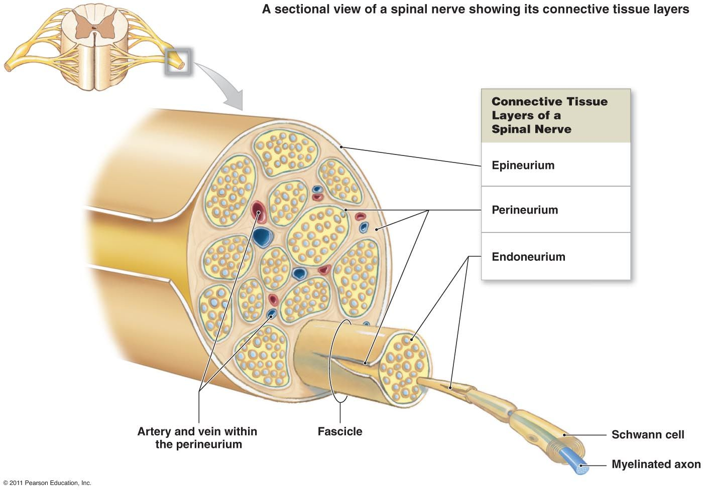 diagram nerve - Google Search | Anatomy & Physiology Diagrams ...