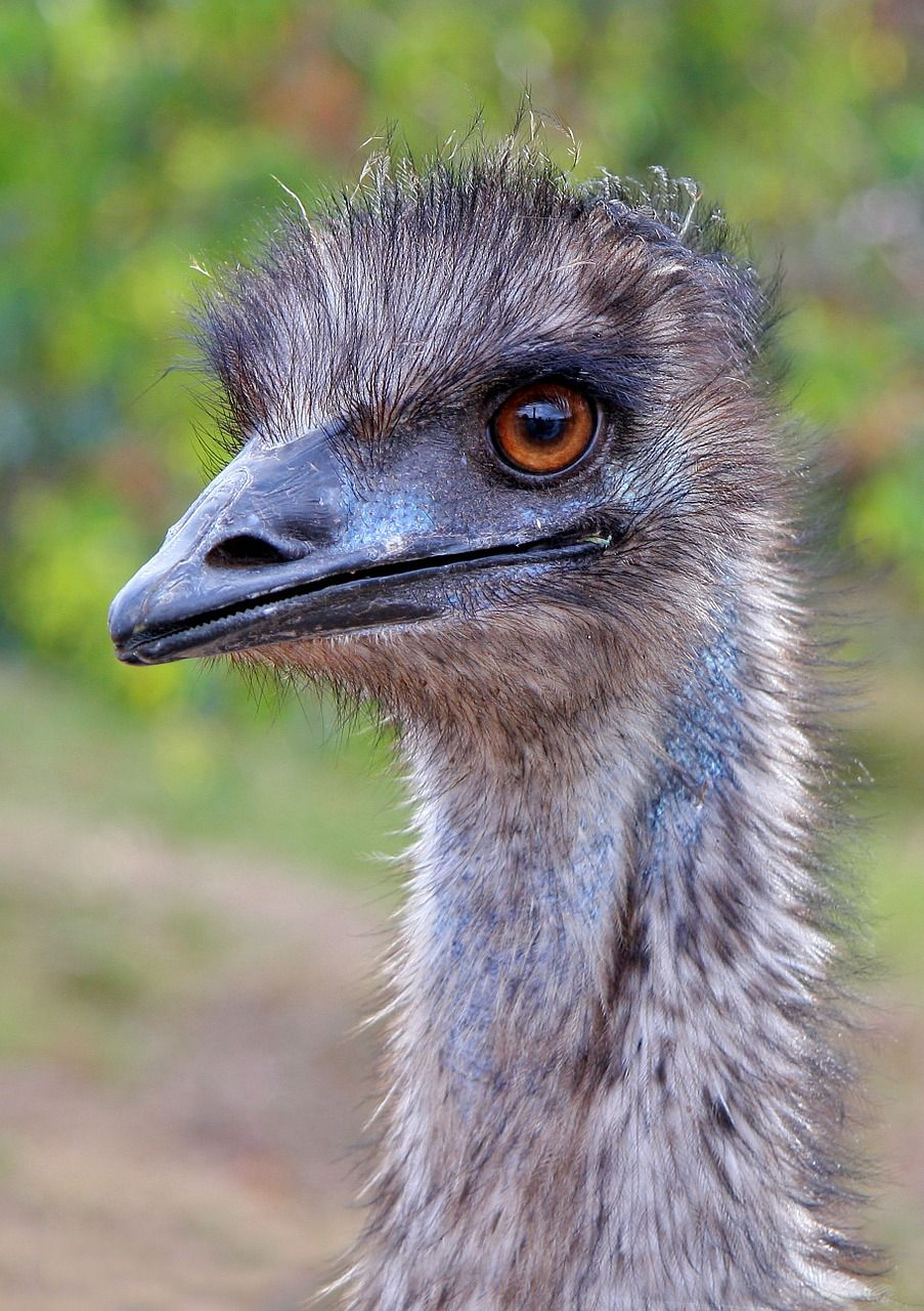 Australia Emu Australia Western Australia Dromaius N Australia Emu Australia Western Australia Dromaius N Australian Animals Zoo Animals Animals